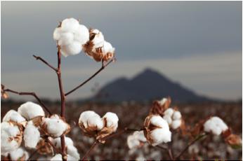 Plante de coton d'Egypte