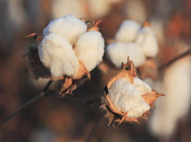 La flambée du cours du coton