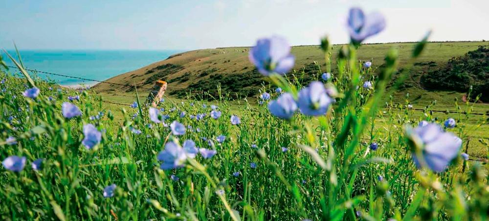 lin normandie fleur bleue