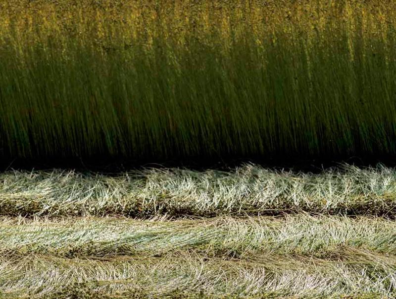 champ de lin
